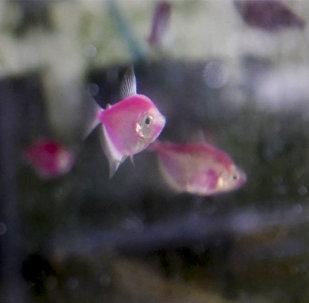 Ակվարիումիստիկայի մասնագետ Վահան Հակոբյանը ձկներ է բուծում հենց իր բնակարանում