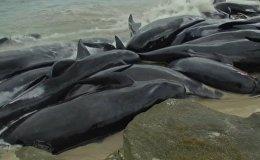 Ավստրալիայում ավելի քան 150 սև դելֆին նետվել են ափ