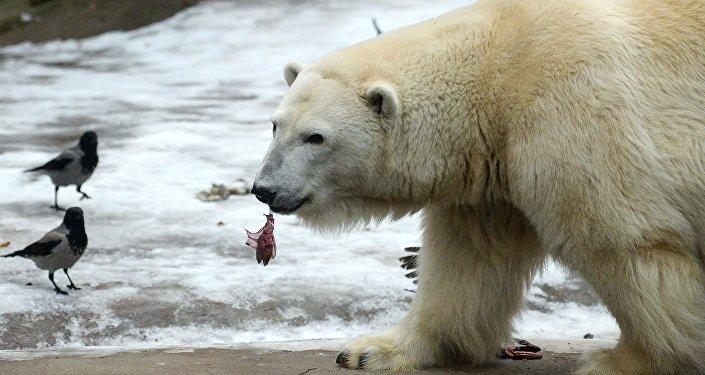 Белые медведи в Московском зоопарке