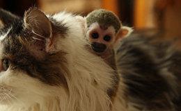 Կատուն «որդեգրեց» որբ կապիկին