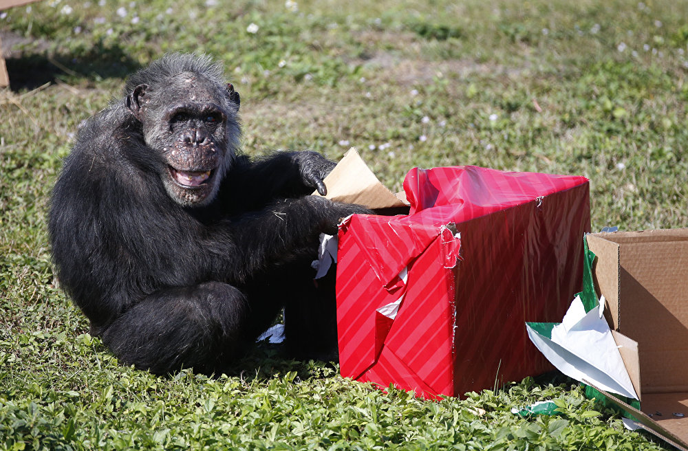 Շիմպանզեն անչափ երջանիկ է նվերի համար։