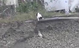 Թե ինչպես է կատուն փրկում շան քոթոթին