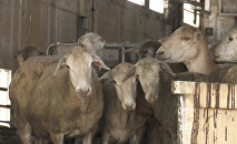 Հայաստանում նոր զարկ է ստանում ոչխարաբուծությունը