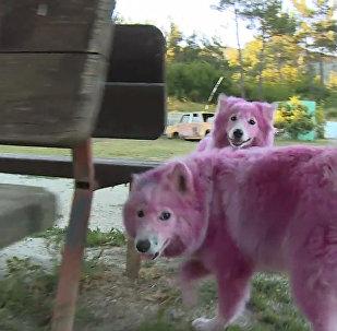 Վարդագույն շներ Գելենջիկի մոտակա անտառներում