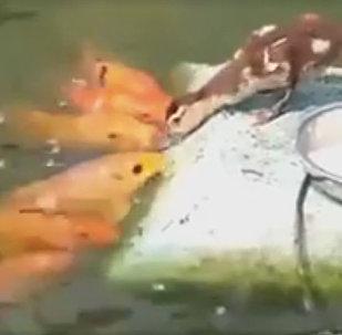բադիկը մայրաբար կերակրում է ձկներին