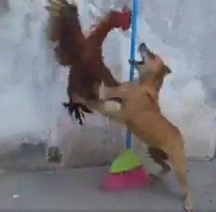 Ինչպես են կռվում աքաղաղն ու շունը