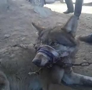 Ղրղզստանում փողոցով կենդանի գայլի էին քարշ տալիս