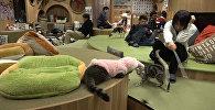 Ճապոնական սրճարանն այցելուներին կենդանի կատուներ է «հյուրասիրում»